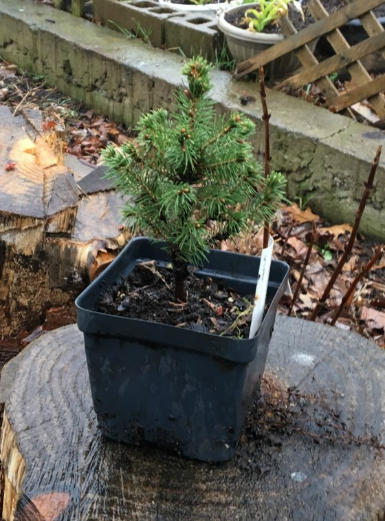How to Propagate, Root Cuttings, of Dwarf Alberta Spruce.