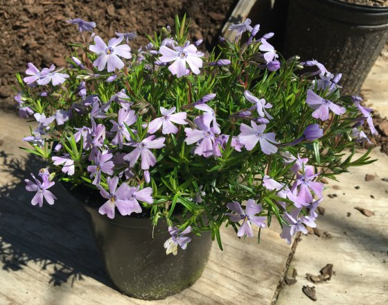Emerald Blue Creeping Phlox.