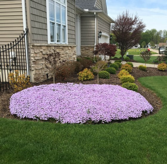 Creeping Phlox used in a corner planting.