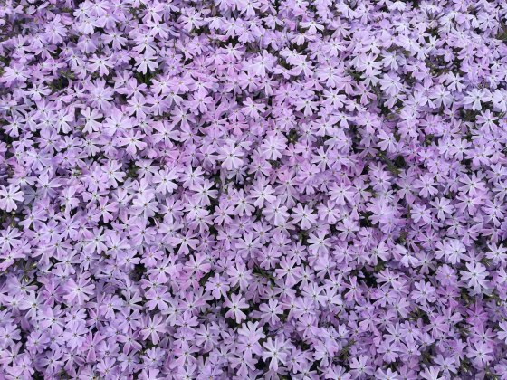 Creeping Phlox in full bloom.