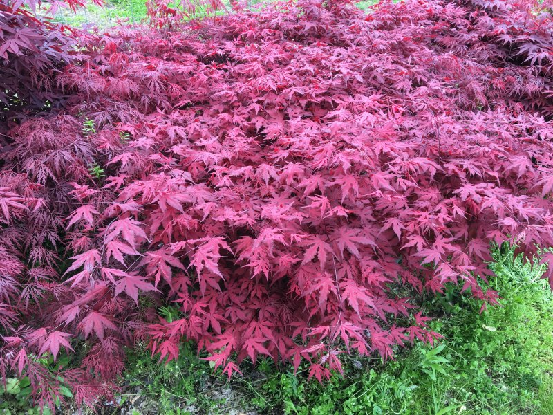 Acer palmatum, 'Purple Ghost' planted in a bed of other Japanese maples.