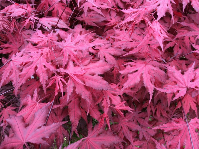 Purple Ghost Japanese Maple