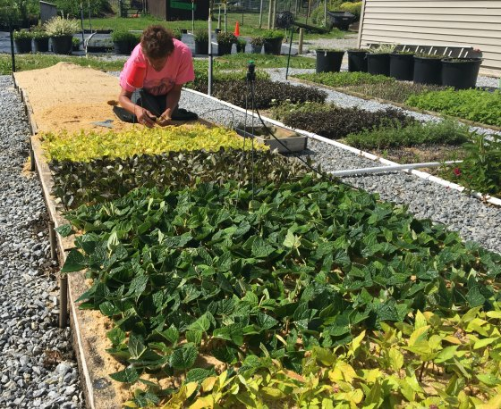 Sticking thousands of cuttings at Mike's Plant Farm.