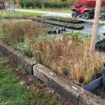 Ornamental grasses heeled in for the winter.