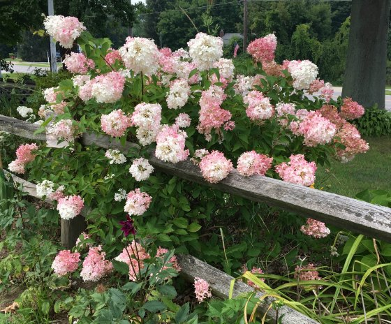 Strawberry Vanilla Hydrangea growing over a split rail fence.