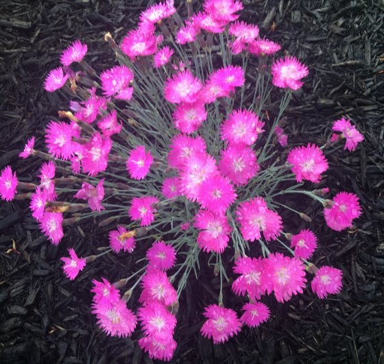 Fire Witch Dianthus